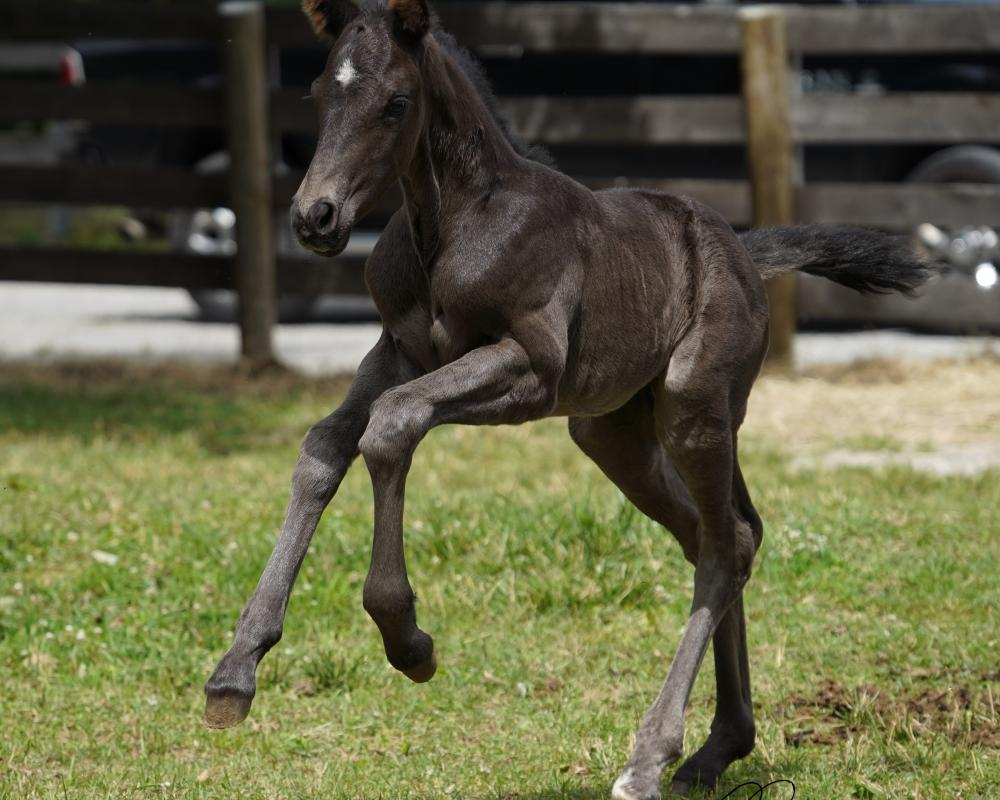 Cerulean Starry Night, Black Irish Draught Sport Horse Filly