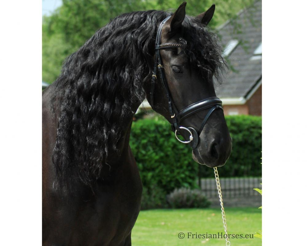 Udo - Friesian horse for sale