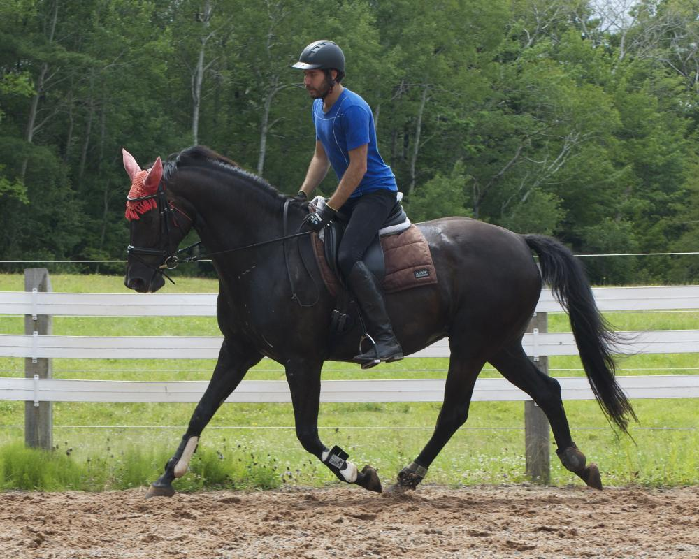 Hosanna at 7 years, recently back under saddle, being ridden intermittently due to heat and humidity. She is pregnant.