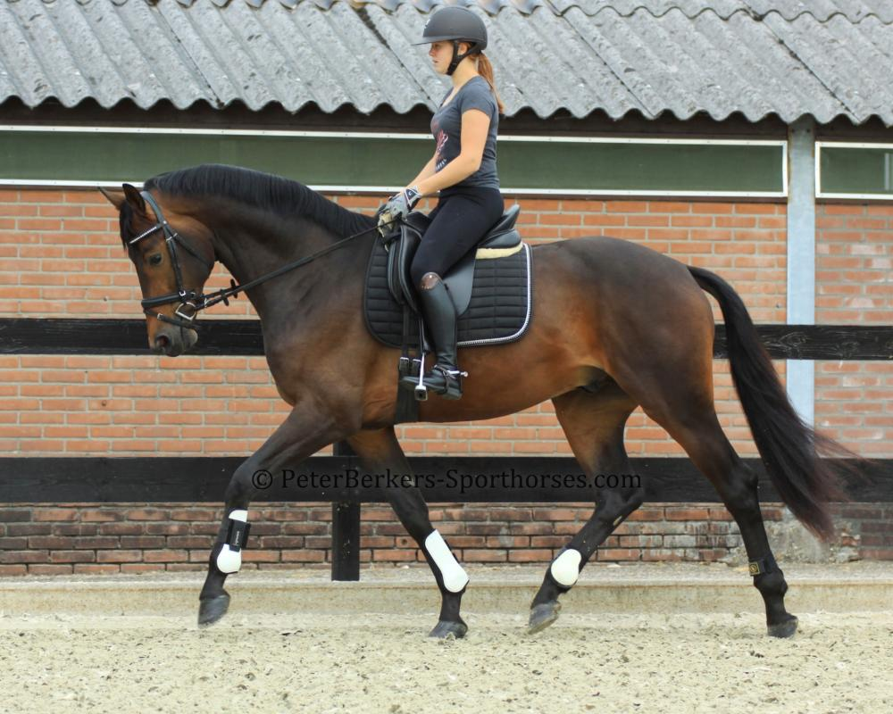Lamour - Dutch Dressage horse for sale Glamourdale x Jazz