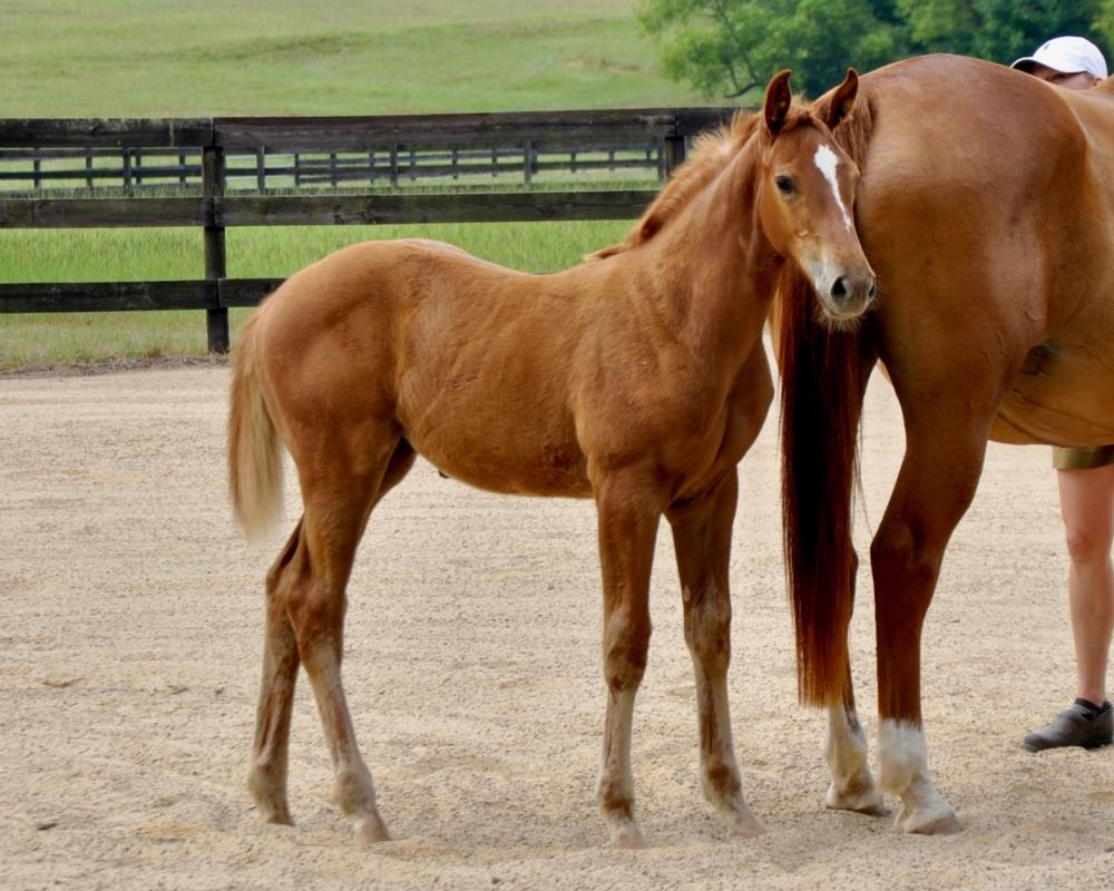 TIARA COVE CSF - 2019 filly