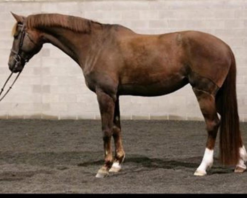 15 year old Trakehner mare
