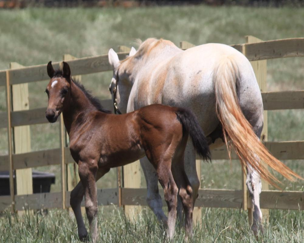 Blume PS  (Bliss MF x Ideal) - Hunter/Dressage Filly