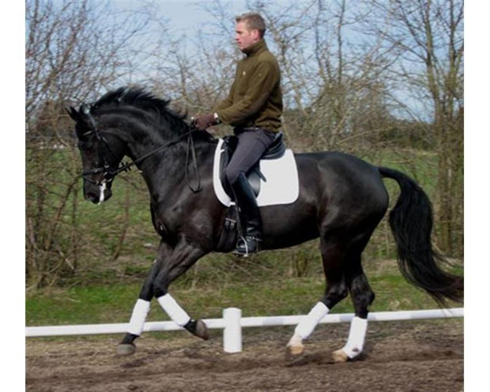 Granlygards Feauty under saddle in Denmark