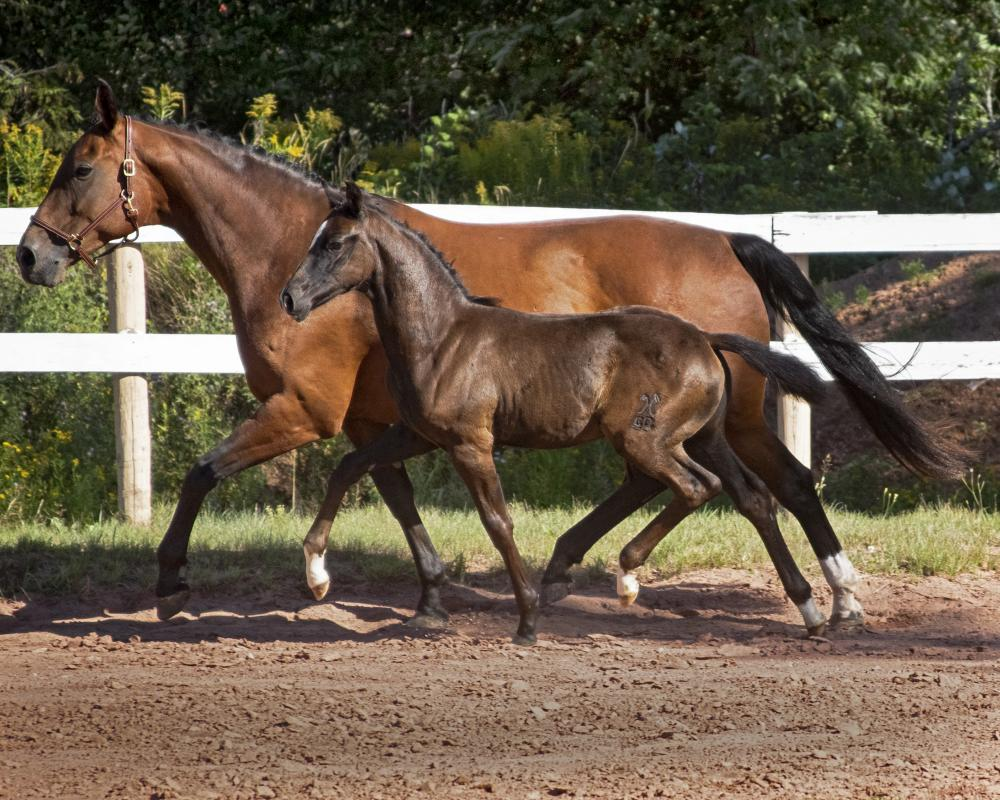 Santerina's embryo transfer foal by Dauphin.  Full-sibling to the one she is carrying.