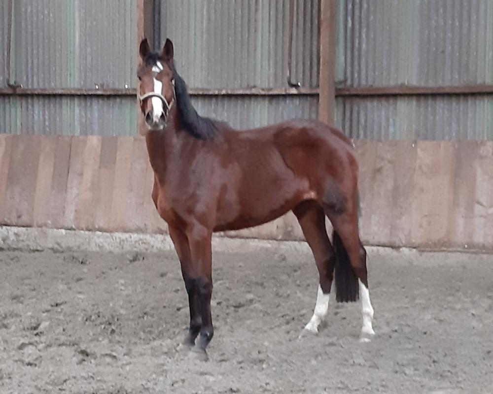 3 Year old out of States Prem. Heraldik XX/Lord Mare **New FJ Video**