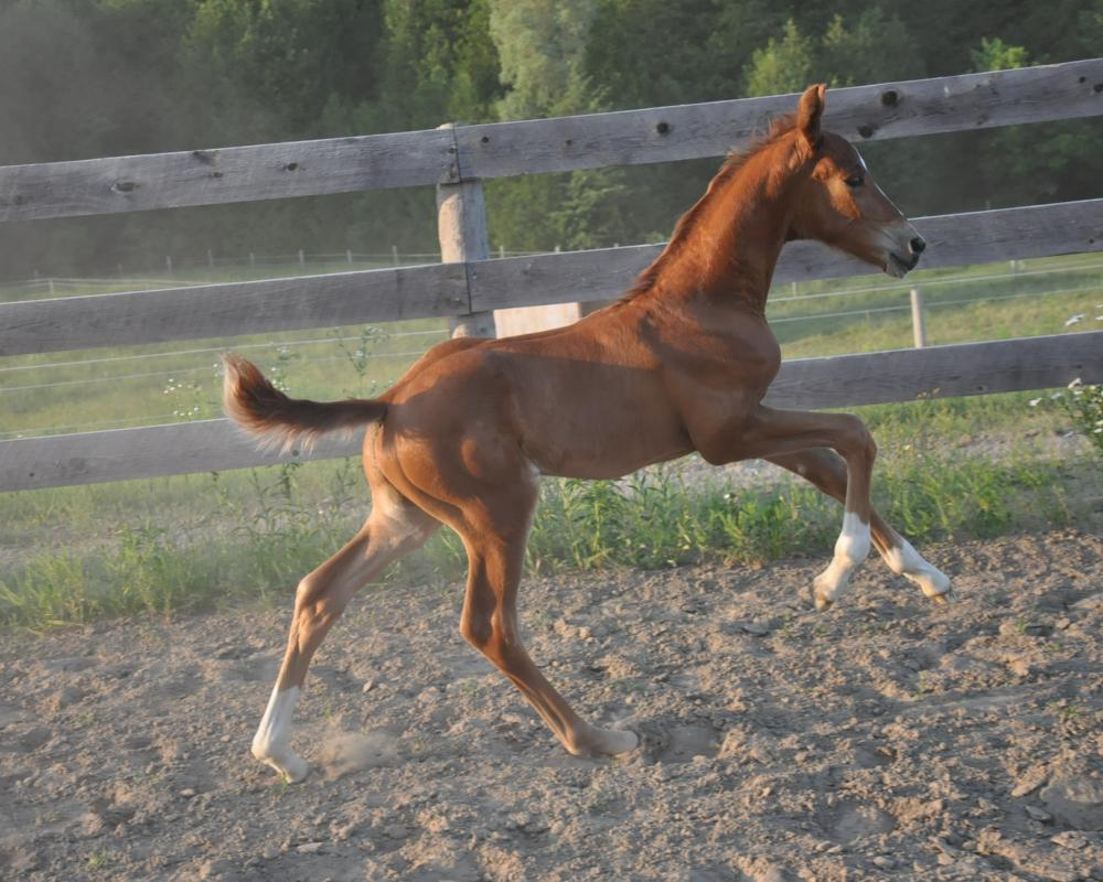 Hanoverian colt by Livaldon out of Wailea (Westporte/Belisar/Actueel)