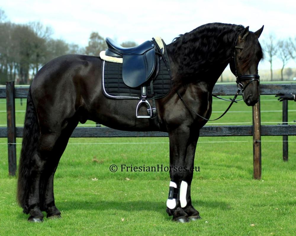 Udo - Friesian dressage gelding for sale