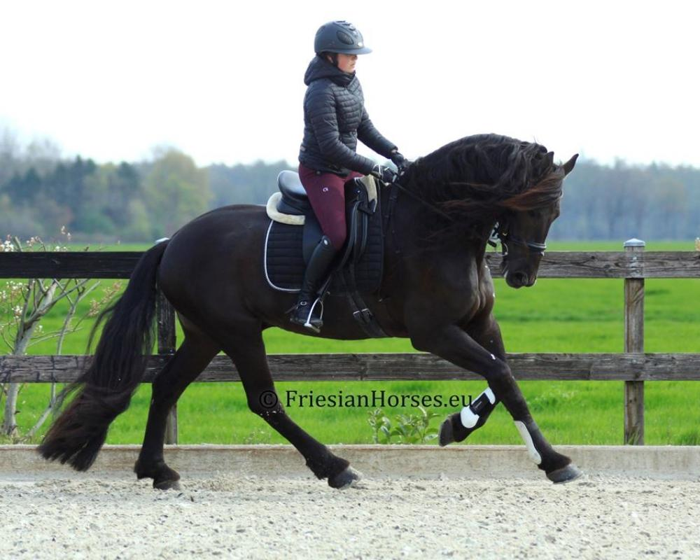 Udo - Friesian gelding for sale