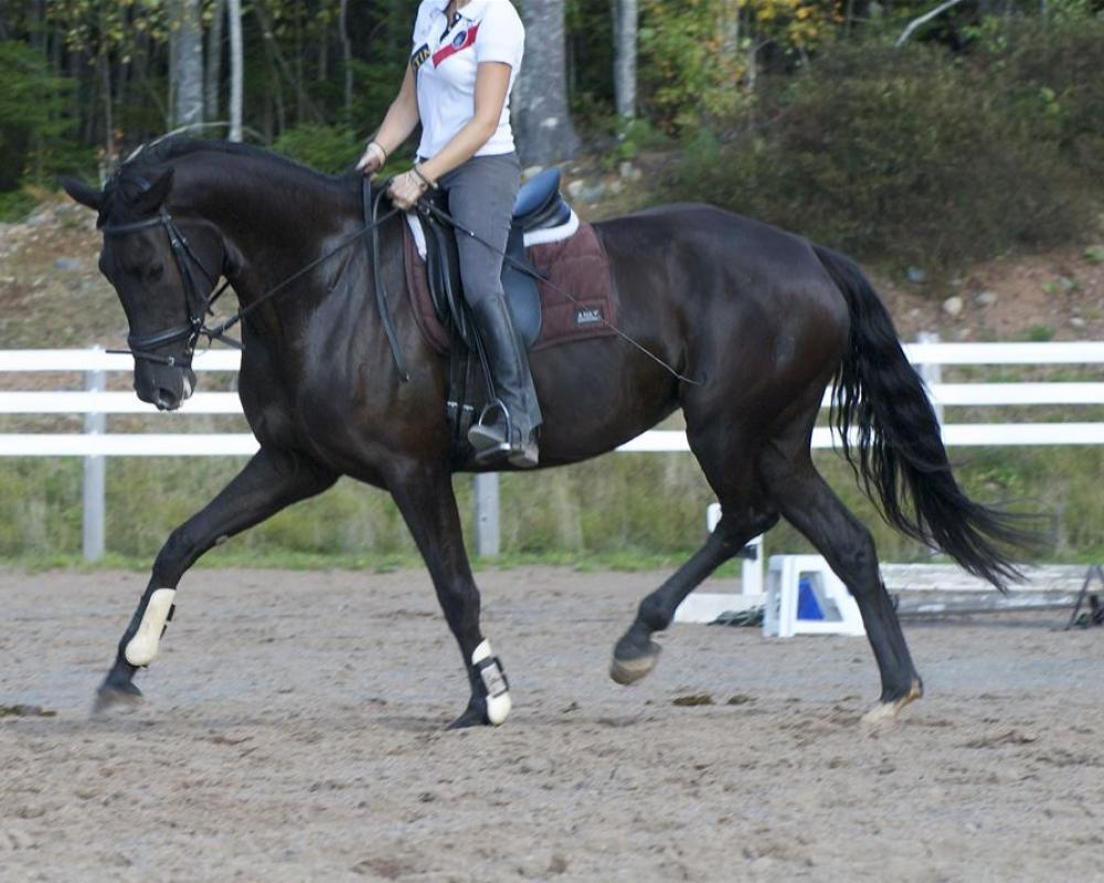 Bosanova NSN under saddle as 5 year-old