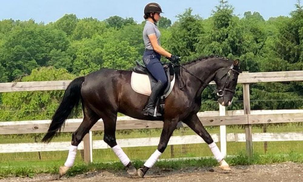Not Showing | Warmblood Sales