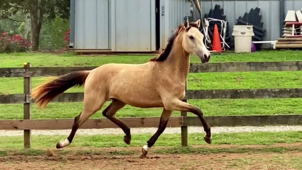 Knotenhalfter Waldhausen rojo//azul oscuro pony-warm sangre nuevo